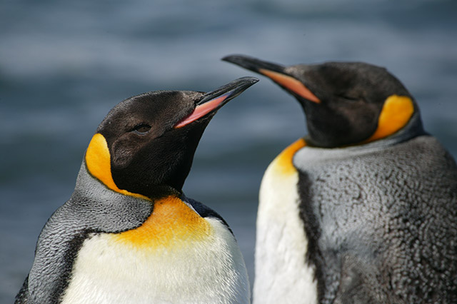 A close up of two King Penguins