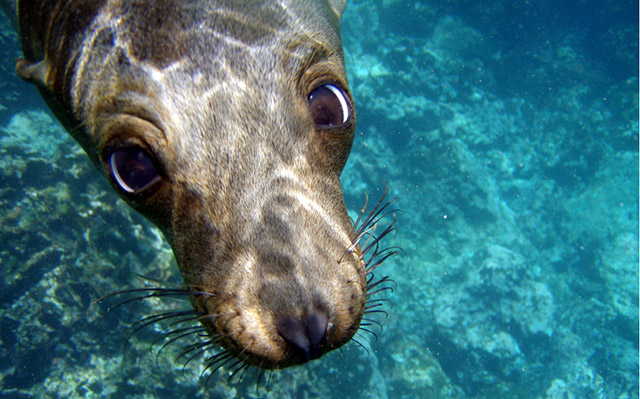 A Galapagos sealion photographed underwater
