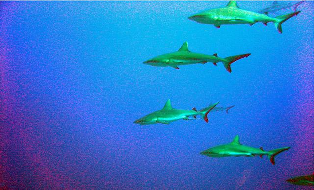 Shark diving in the Fakarava channel