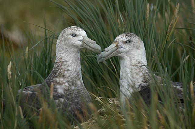 A mating pair of Petrels